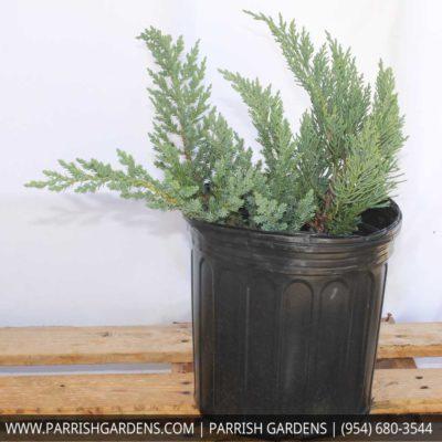 Parsonii juniper