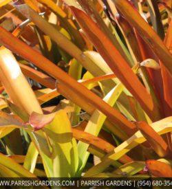 bromeliad red