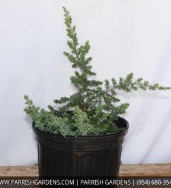 juniper blue pacific