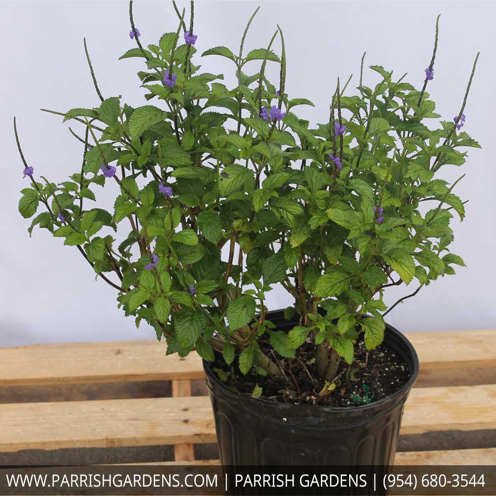porter weed purple