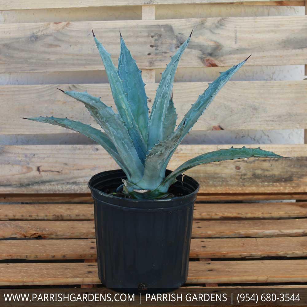 agave blue