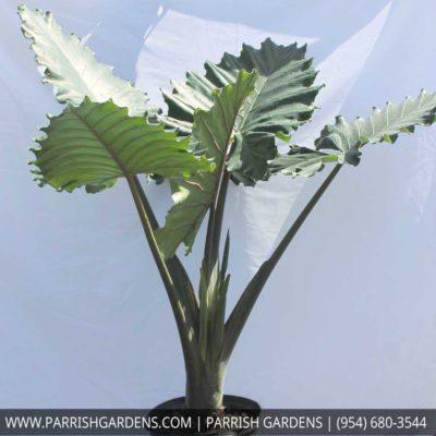alcocasia elephant plant