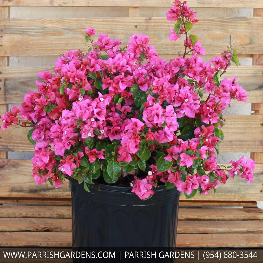 bougainvillea pink