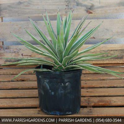 agave caribbean