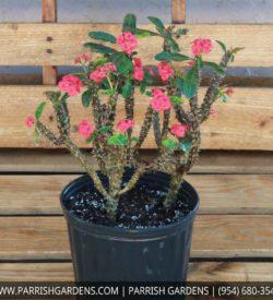 crown of thorns hybrid
