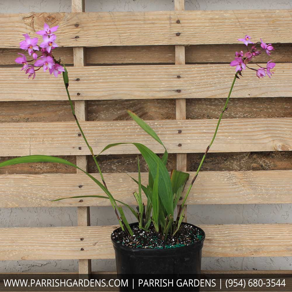 ground orchid purple