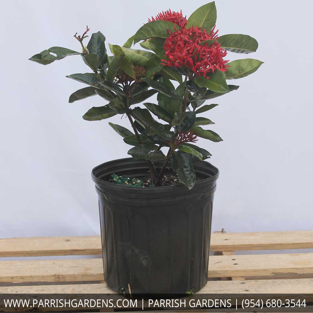 ixora super king