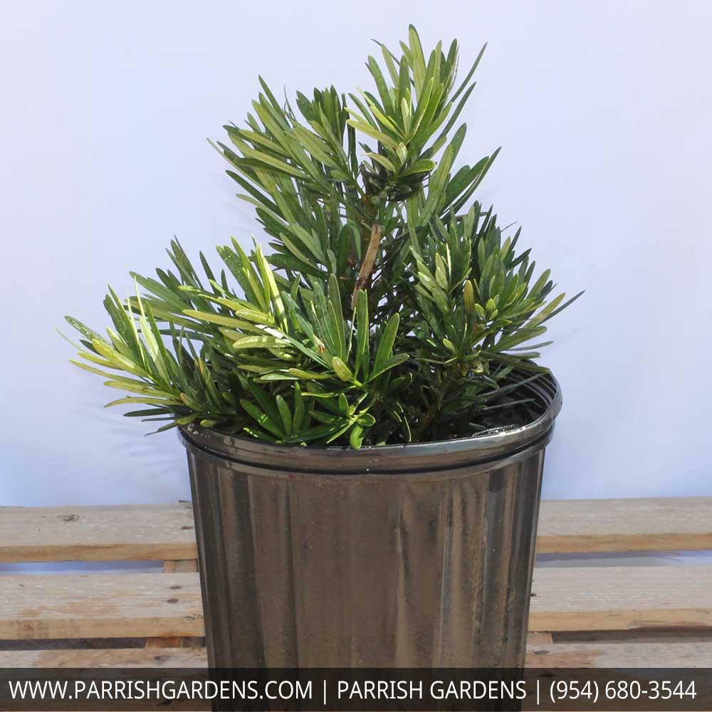 podocarpus pringle