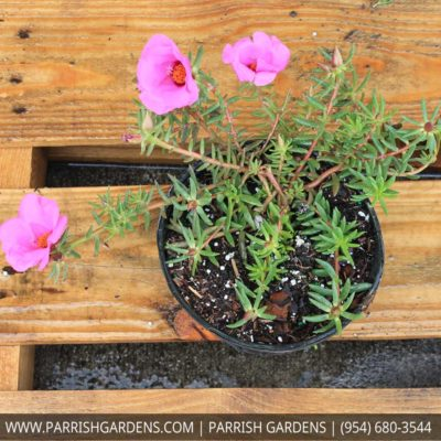 portulaca purple