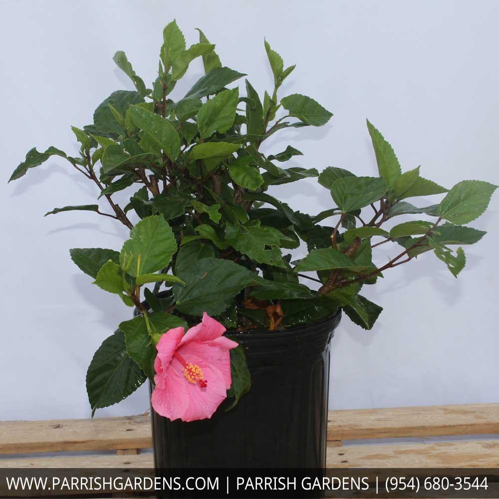 seminole hibiscus pink